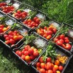August - Sărbătoarea tomatelor