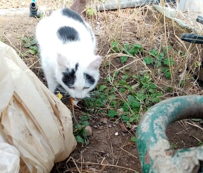 mouse hunting cat at gradina bio amurtel